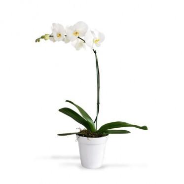 Phalaenopsis en Cerámica (1 o 2 tallos)