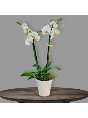 Phalaenopsis en Cerámica ( 2 tallos)