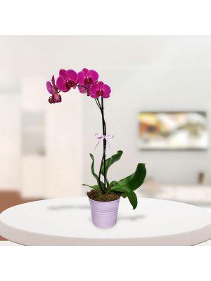 Orquidea Real